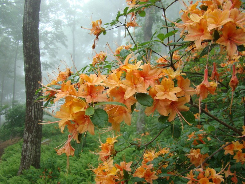 Southern Garden Design red The Site Had Many Existing Masses Of Fragrant Flame Azaleas